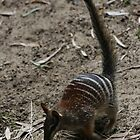 Numbat by Michelle Cocking