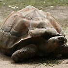 Galapagos Tortoise by Michelle Cocking