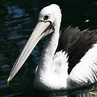 Pelican by Michelle Cocking