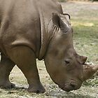 Southern White Rhinoceros by Michelle Cocking