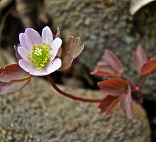 Rue Anemone Wildflower - Anemonella thalictroides by MotherNature