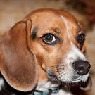 Shy Little Beagle by Sherry Hallemeier