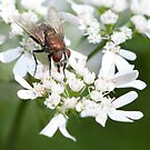 Common housefly by Peter Wickham