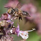 African honey bee by Peter Wickham