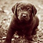 Chocolate Labrador Puppy - Sepia by Kate Wall