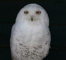 Arctica the Snowy Owl by LorrieBee
