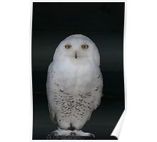 Arctica the Snowy Owl Poster
