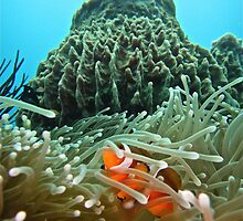 KRAKATOA CLOWNFISH by NICK COBURN PHILLIPS