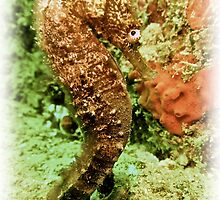 PROUD TO BE SEAHORSE by NICK COBURN PHILLIPS