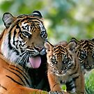 Tiger family by Mundy Hackett