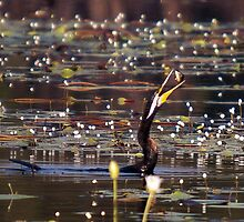 Snake-necked Cormorant dines by Keith McGuinness