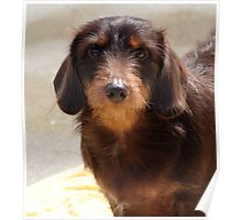 BISMARCK IS A WIREHAIRED DACHSHUND Poster
