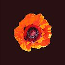 Spectacular poppy for iPhone by Philip Mitchell