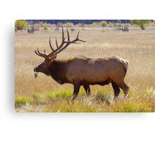 Grazing bull elk Canvas Print