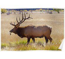 Grazing bull elk Poster