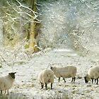 Winter sheep by Lyn Evans