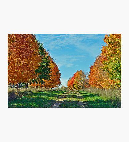 Maple Tree Lane Photographic Print