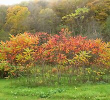 Autumn Sumac by lorilee
