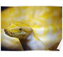 Albino Burmese python  Poster