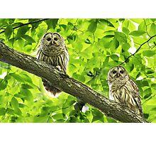 Barred Owl (Strix varia) Photographic Print