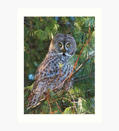 Great Grey (Owl Strix nebulosa) Art Print