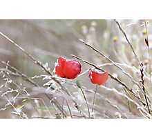 Fading Poppies Photographic Print