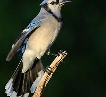 Eagar Blue Jay by Heather Pickard