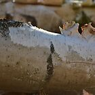 Birch bark by hsuther2