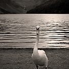 Swan at the lake by Esther  Moliné