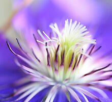Clematis by julie08