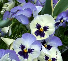 The Perfect Pansy by © CK Caldwell IPA
