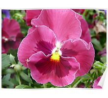 Pink Pansy Poster
