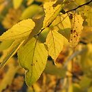 Leaves of Gold by lorilee