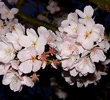 cherry blossom pompoms by dedmanshootn