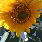 Sunflower by shaina