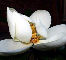 magnolia blossom fan dancer by dedmanshootn