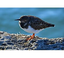 Turnstone Bird.........Lyme Dorset UK Photographic Print