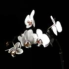 ORCHID 12 by Thomas Barker-Detwiler