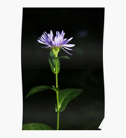 Showy Wood-Aster Poster