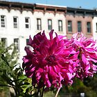 September Jersey City, New Jersey, Flower Close-Up, Van Vorst Park by lenspiro