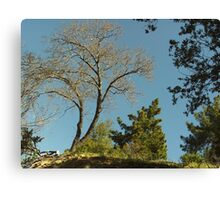 Tree In The San Bernardino Mountains. Canvas Print