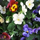 Pretty Pansies by MaryLynn