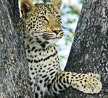 Young leopard in classic position in tree(This my tree!) by jozi1