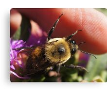 One of my Bumble bees Canvas Print