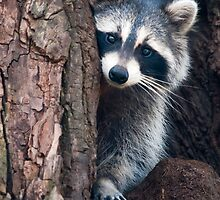 Raccoon by (Tallow) Dave  Van de Laar