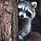 Raccoon by (Tallow) Dave  Van de Laar