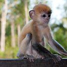 Baby Silver Leaf Monkey by Allan Saben