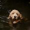 Otterhound in deep water by Christopher Cullen