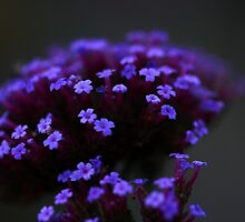 Purpletop Verbena in Moonlight  by Stephen J  Dowdell