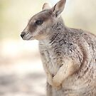 Mareeba rock wallaby by Jenny Dean